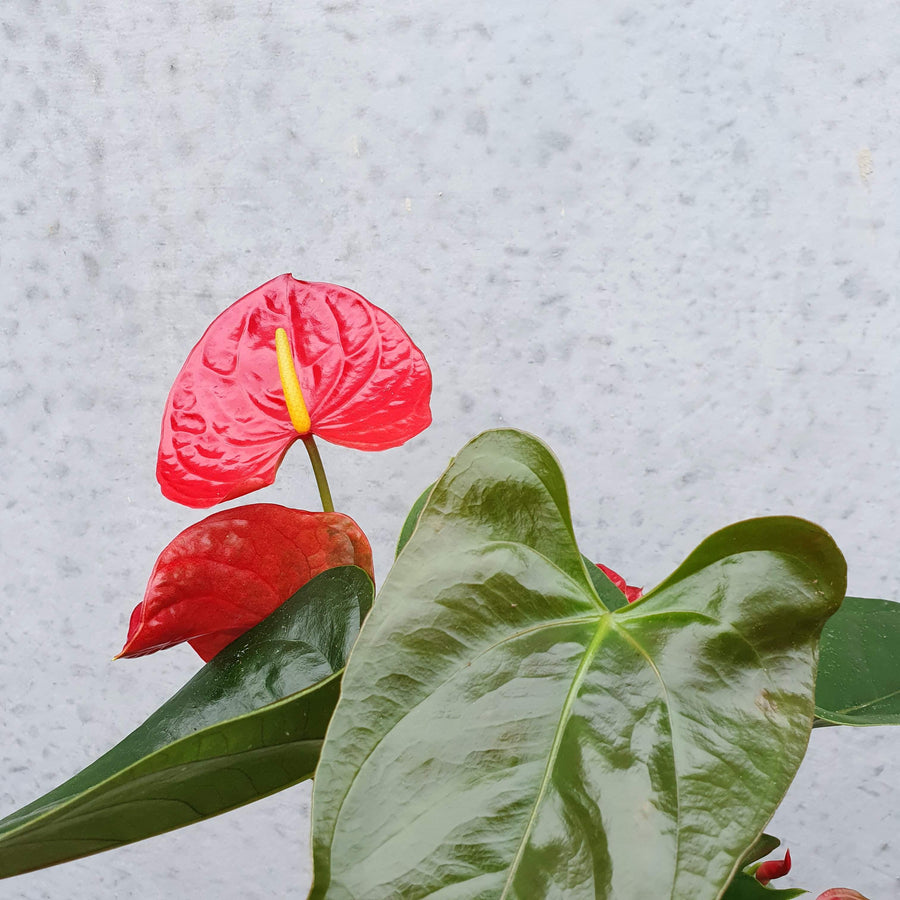 Anthurium - Red heart Folia House