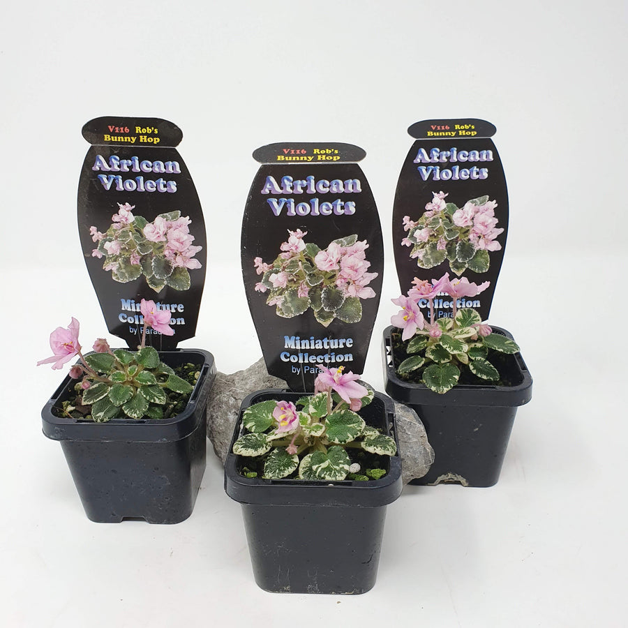 Baby Plant - African Violet Bunny Hop Folia House