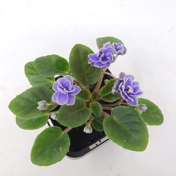 Baby Plant - African Violet China Doll blue Folia House