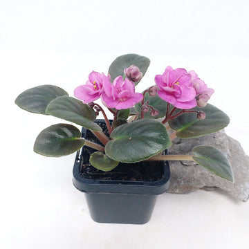 Baby Plant - African Violet China Doll pink Folia House