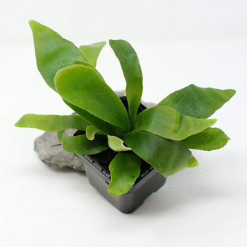 Baby Plant - Compact Staghorn Fern (Platycerium Netherlands Folia House