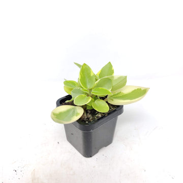 Baby Plant - Peperomia Pixie Variegated Folia House