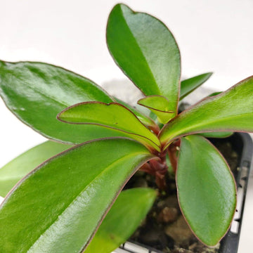 Baby Plant - Peperomia Red Edge Folia House