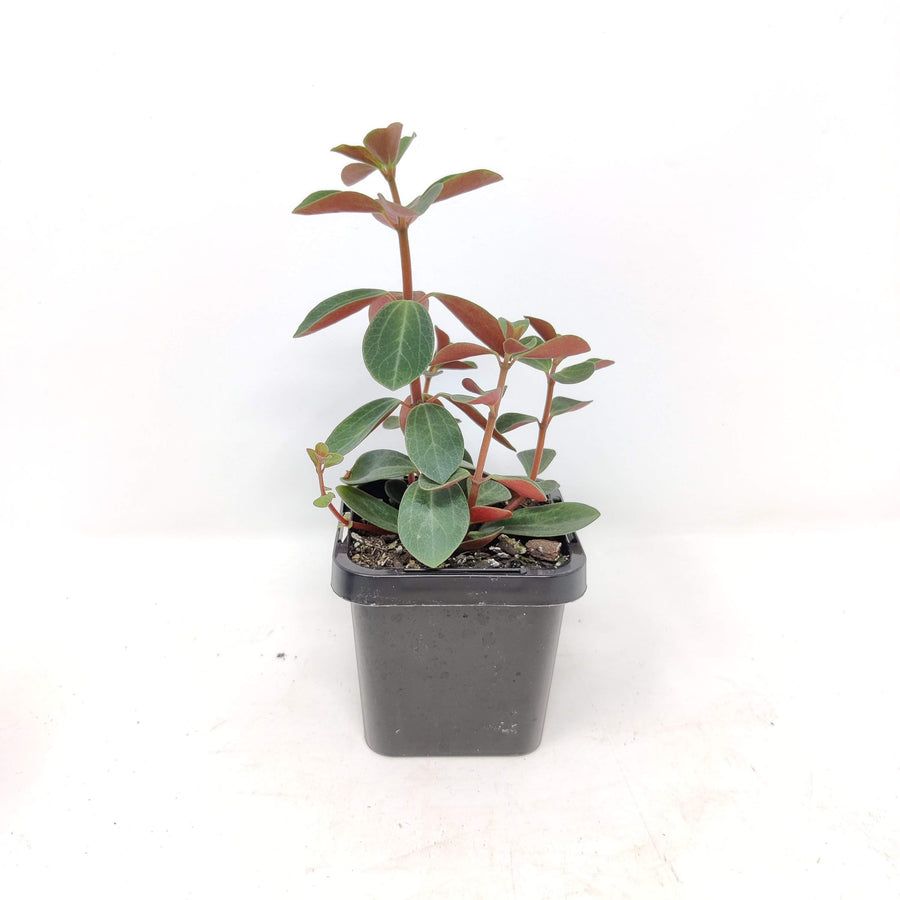 Baby Plant - Peperomia Red Log Folia House