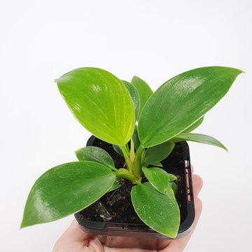 Baby Plant - Philodendron Birkin Folia House