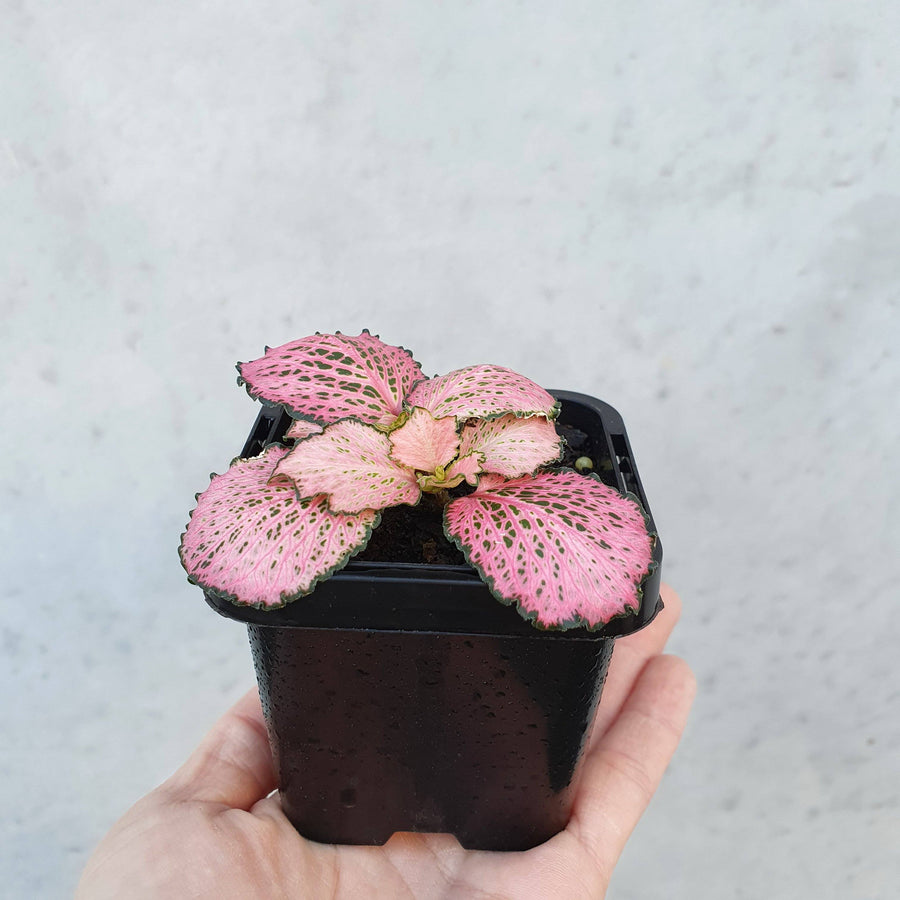 Baby plant - Fittonia Pink Anne Folia House