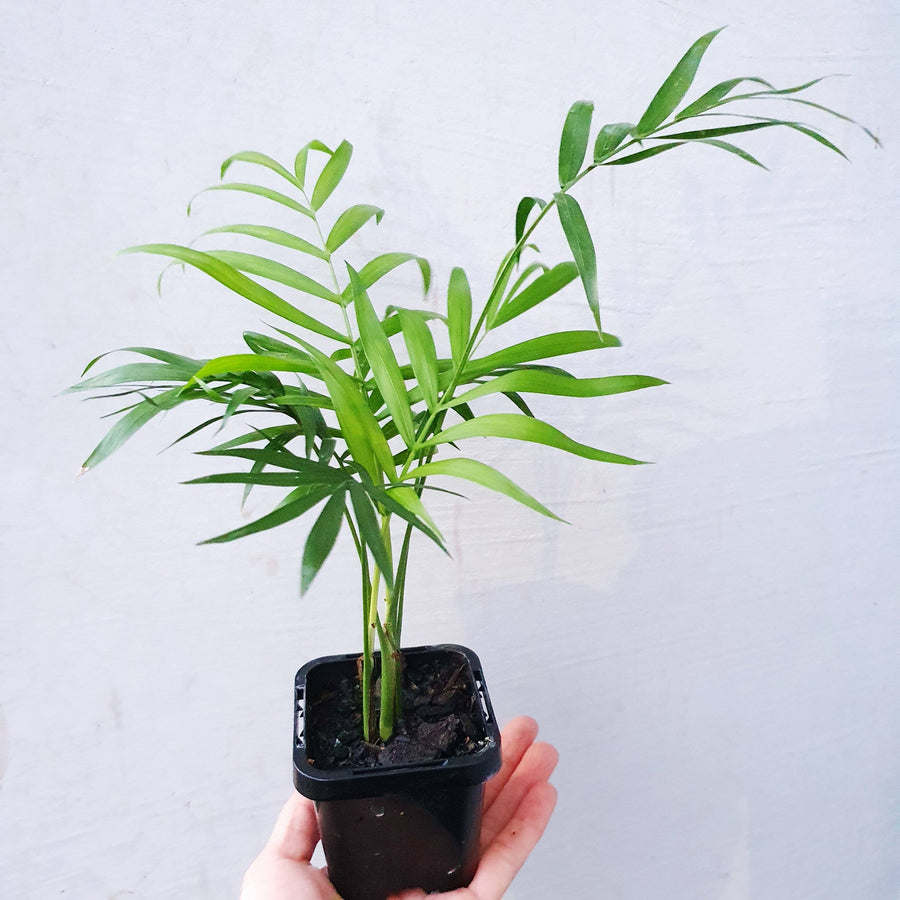 Baby plant - Parlour Palm Folia House