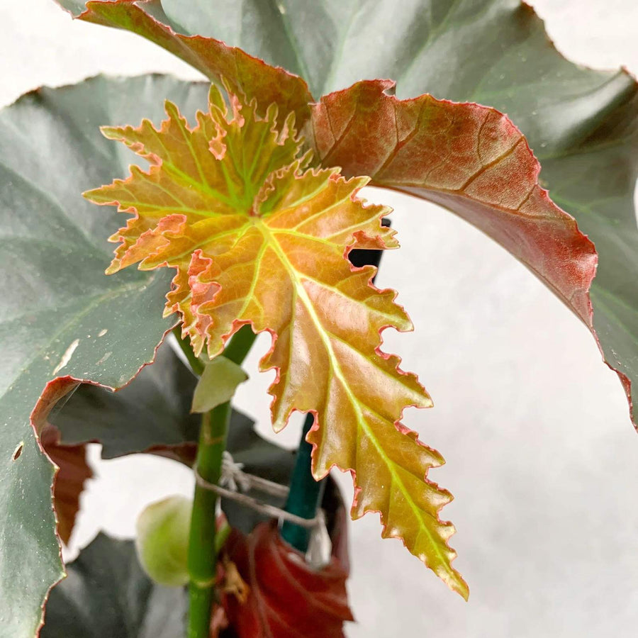 Begonia sp. Folia House