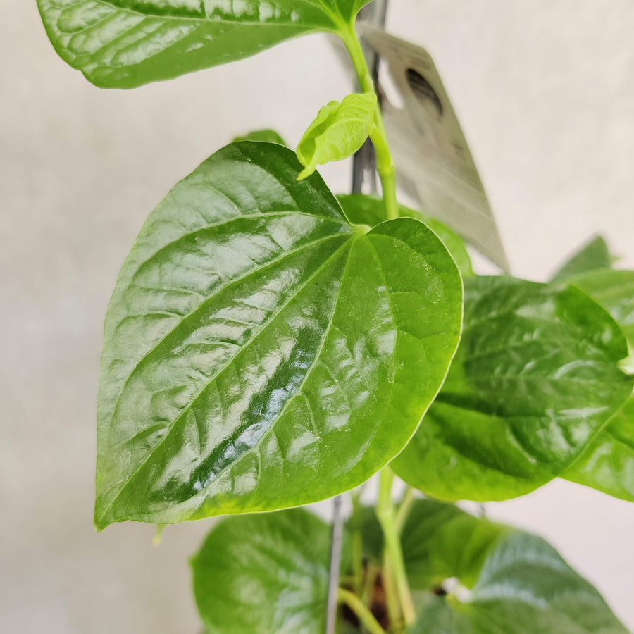 Betel Leaves Plant (Piper Crocatum Celebes Pepper) Folia House