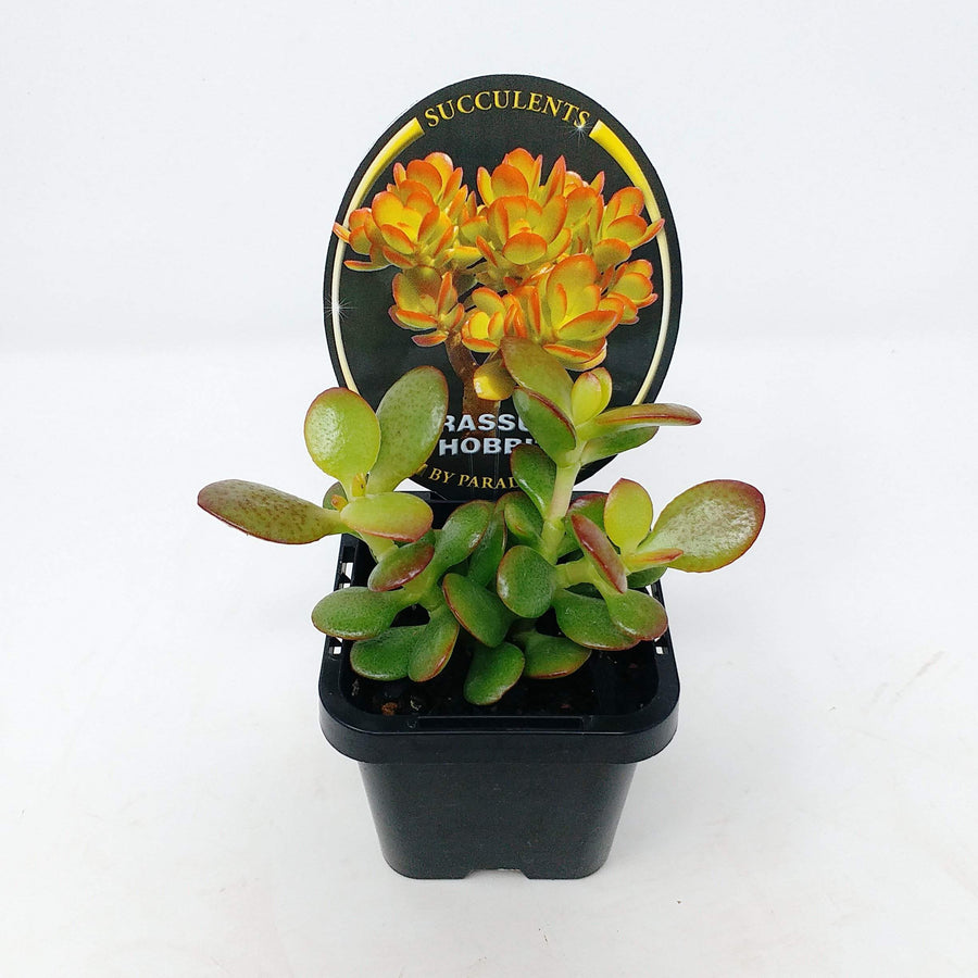 Crassula Hobbit Folia House