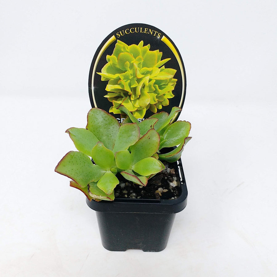 Crassula Undulata Folia House