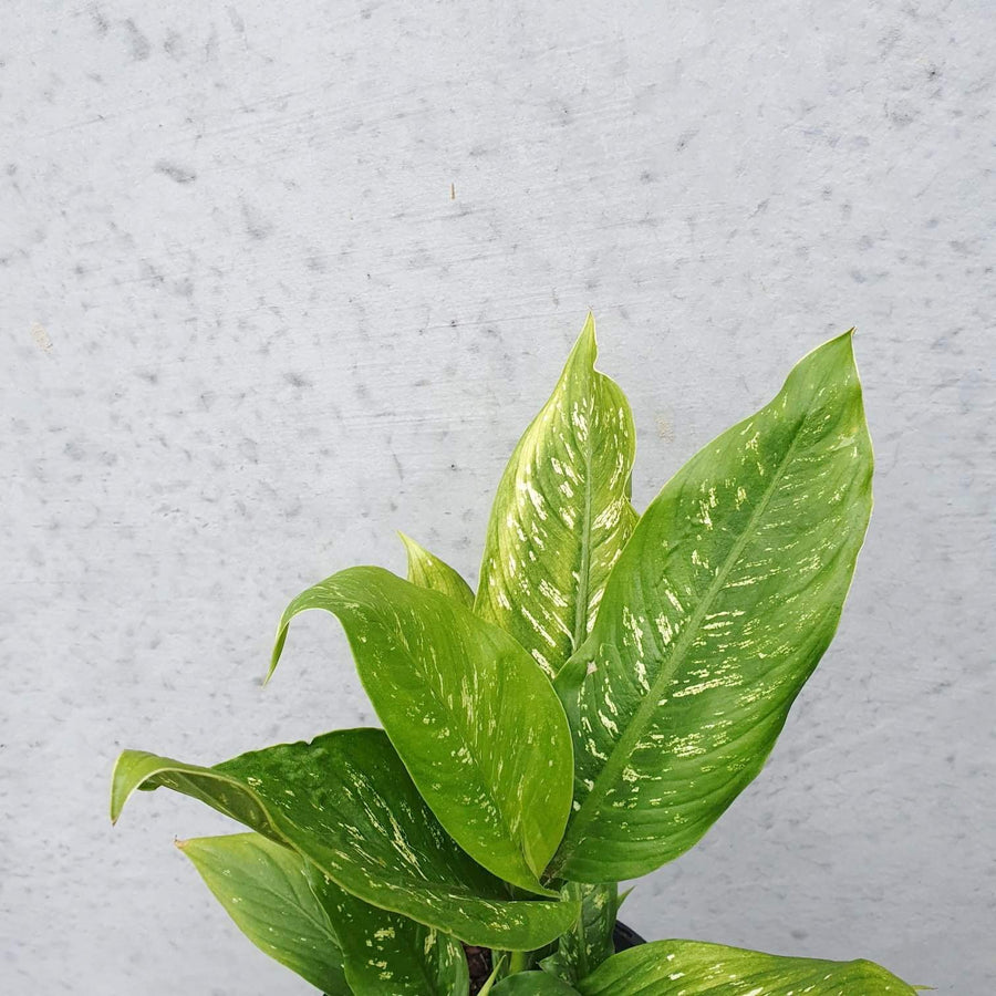 Dieffenbachia assorted Folia House