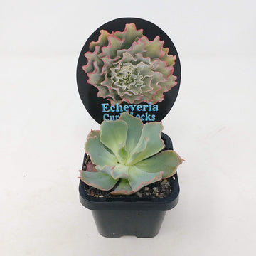 Echeveria Curly Locks Folia House