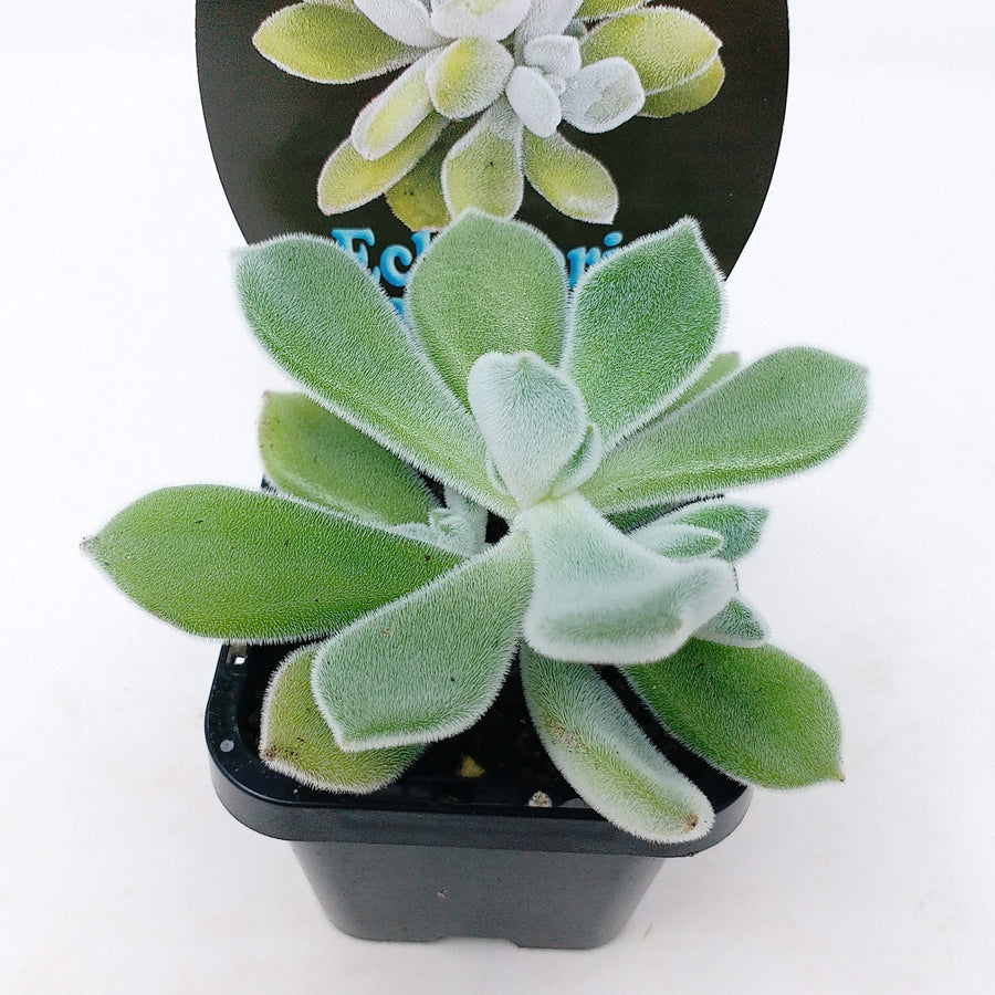 Echeveria Frosty Folia House