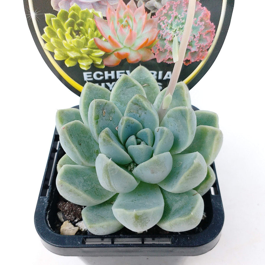Echeveria Hybrids Folia House