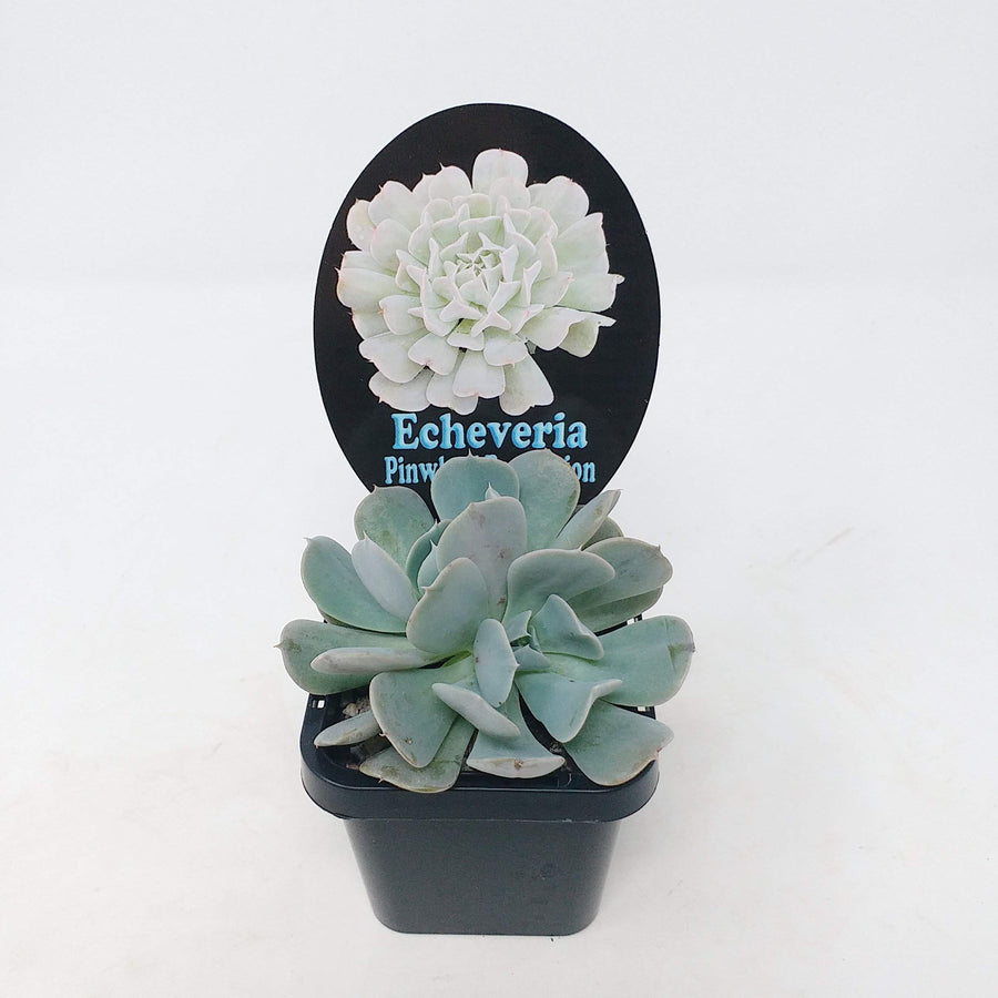 Echeveria Pinwheel Revolution Folia House