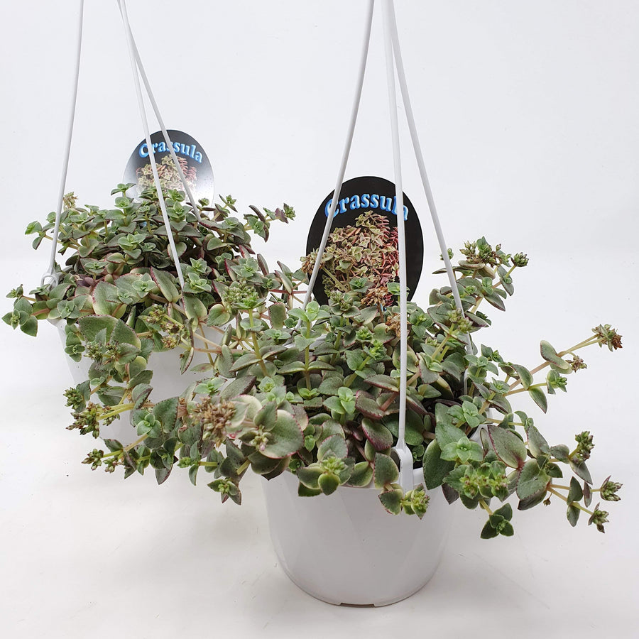 Hanging Baskets Crassula Isabella Folia House