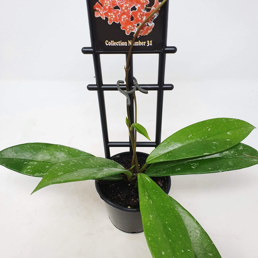 Hoya - Green Exotica Folia House