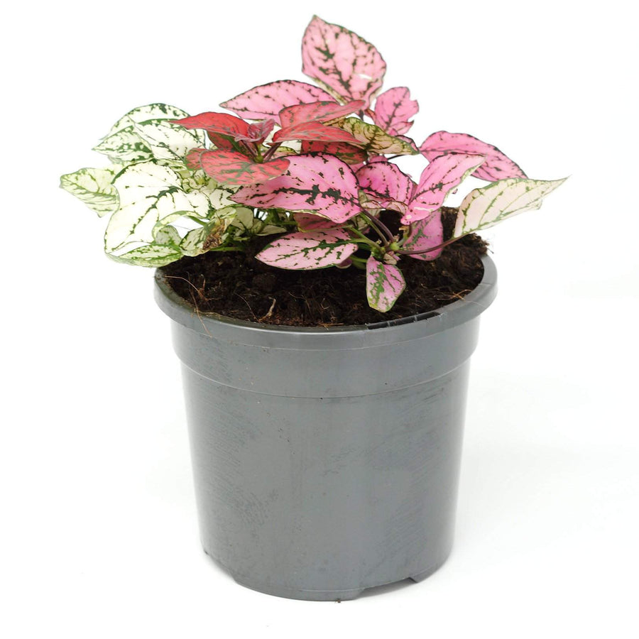 Hypoestes Triple Splash Folia House