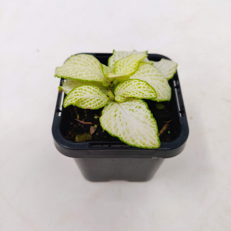 Baby plant - Fittonia White Star