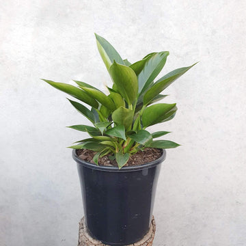 Philodendron Green Princess Folia House