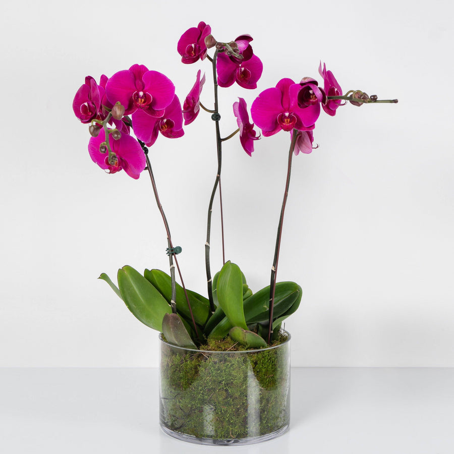 Pink Phalaenopsis Orchid In Glass Folia House