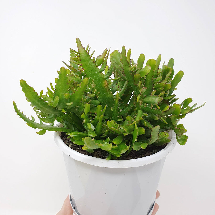 Rhipsalis - Disocactus Bits & Piece (Collection No.29) Folia House