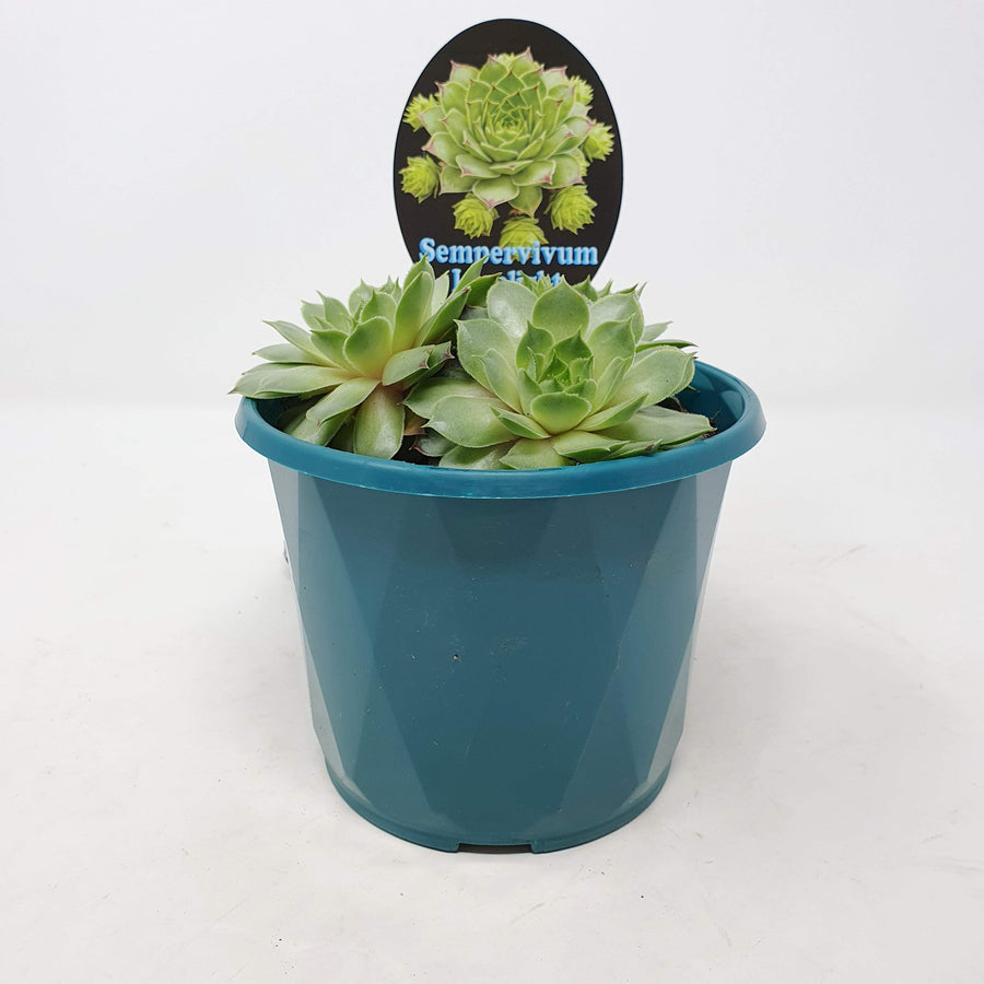 Sempervivum Limelight Folia House