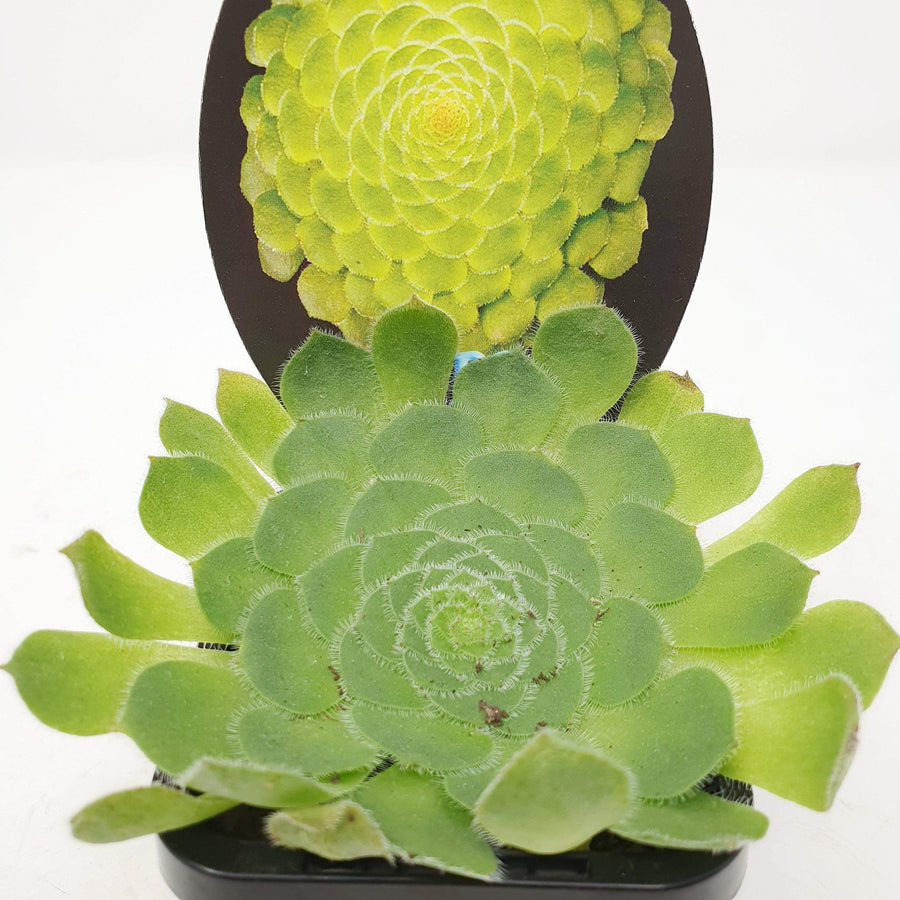 Succulent - The Plate Plant Folia House