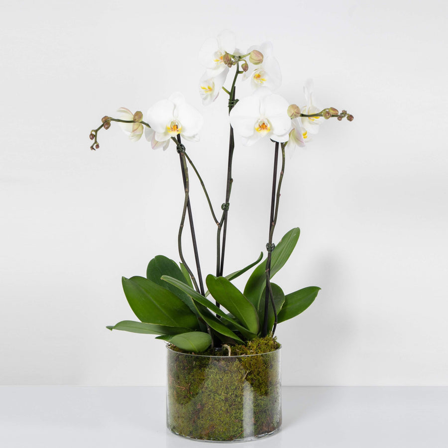 White Phalaenopsis Orchid In Glass - 2 stems per plant Folia House