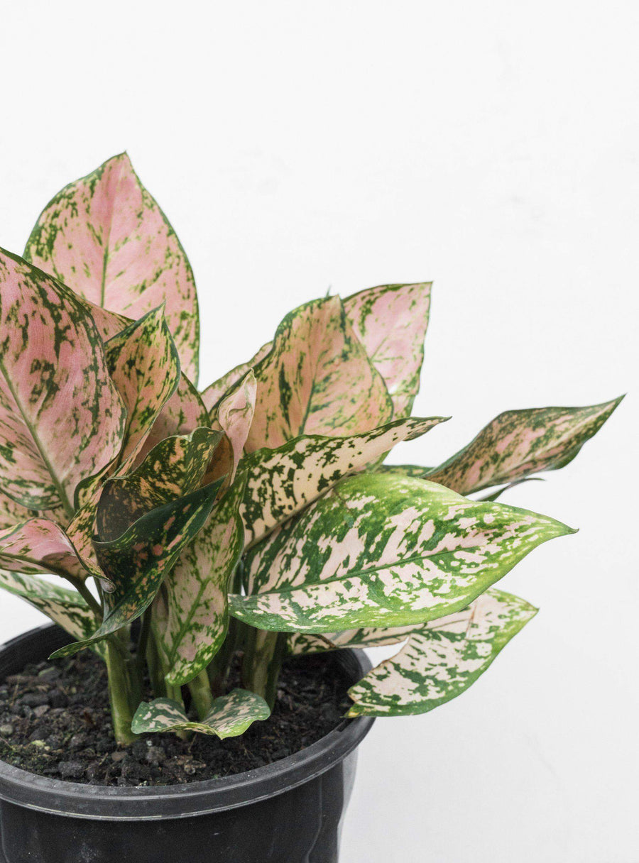 Aglaonema Pink Splash - Chinese Evergreen