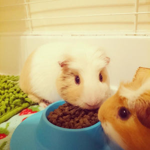 Too Much of a Good Thing Is Bad for Guinea Pigs -- STAYbowl™ Helps with Portion Control
