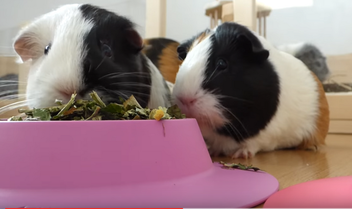 Larger STAYbowl™ has just arrived!  Perfect for veggies, or for 3-6 guinea pigs!