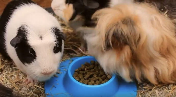 STAYbowl™ vs. a Herd of EIGHT Guinea Pigs! Guess Who Wins??