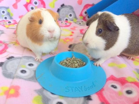 STAYbowl Tip-Proof Bowl for guinea pigs