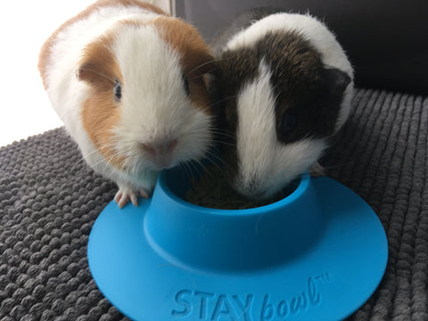 Guinea pigs with STAYbowl