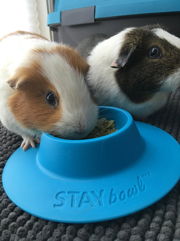 STAYbowl and guinea pigs