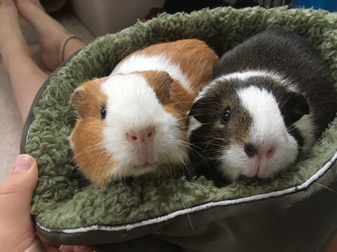 Ginger and Cocoa guinea pigs