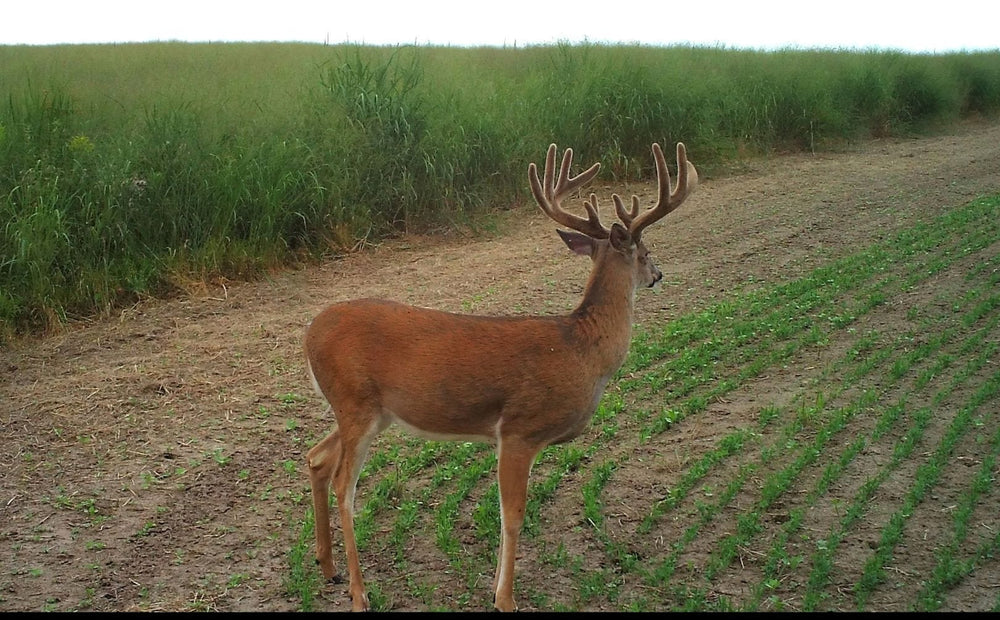 Attracting Deer Herds Day and Night