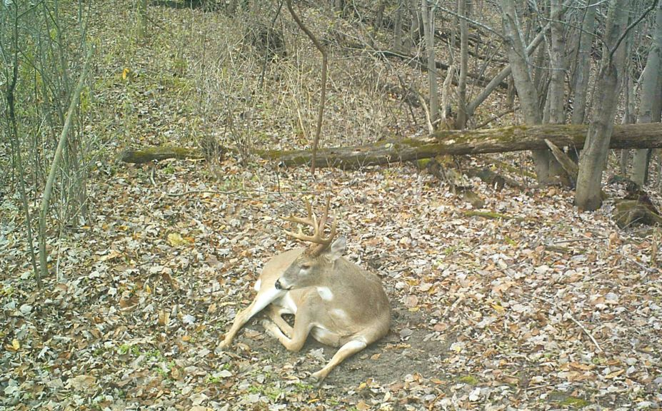 Important Buck Bed Habitat Tip
