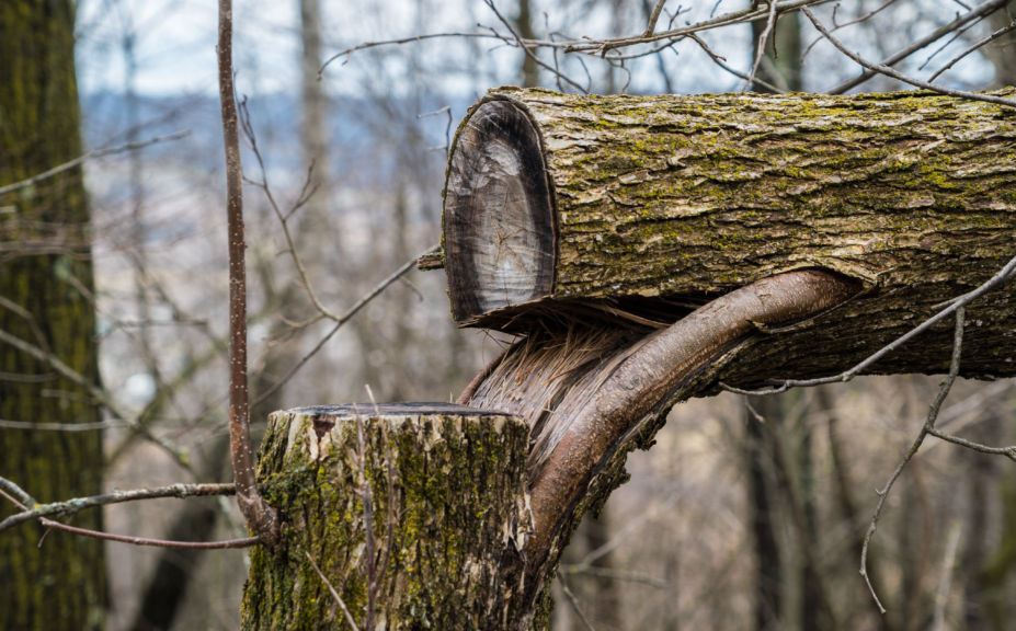 Why Create Hinge Cuts For Whitetails