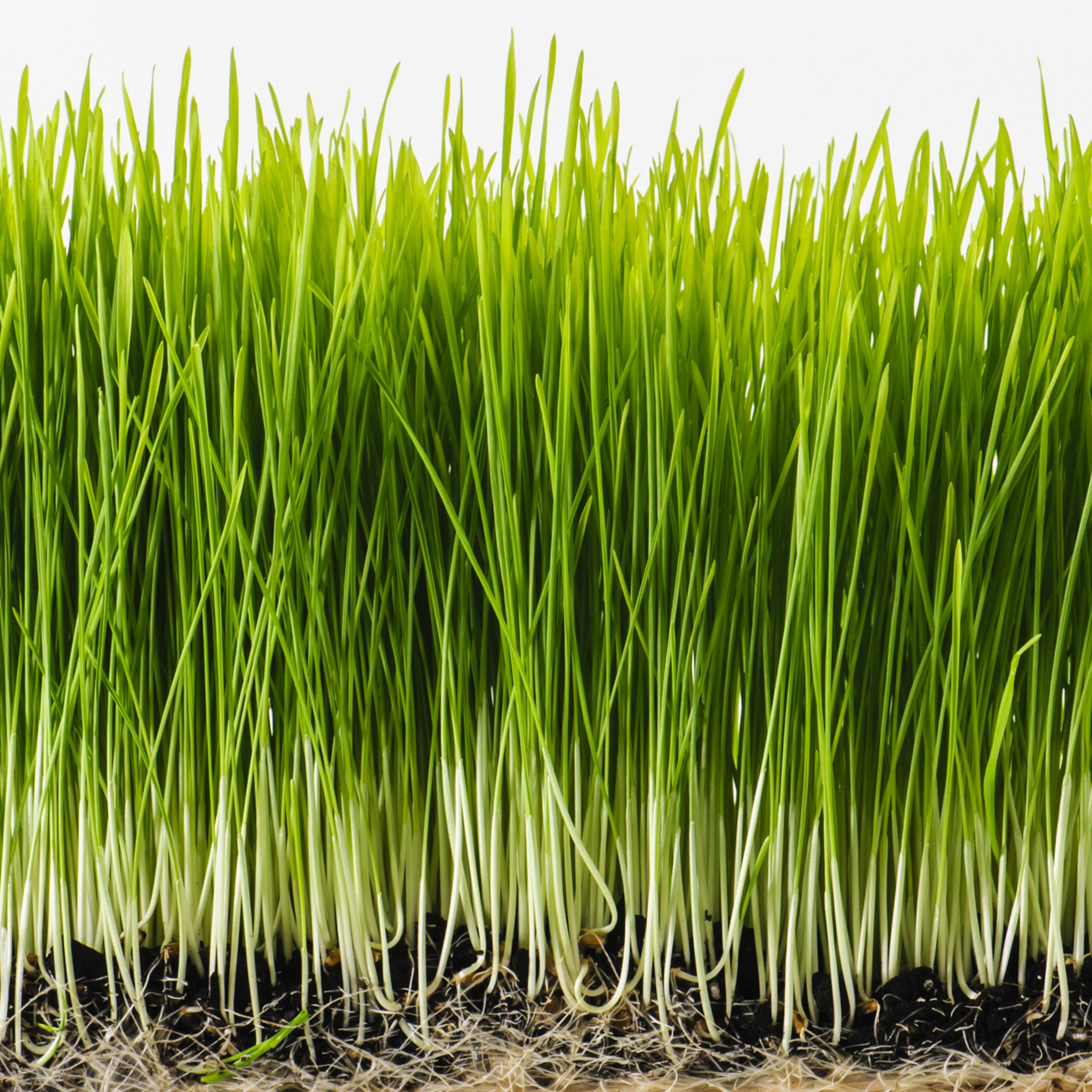 Sproutman's Organic Wheatgrass Sprouting Seeds (2 Lbs) - Tribest