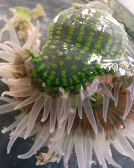 Anthopleura Fuscoviridis rainbow bottom