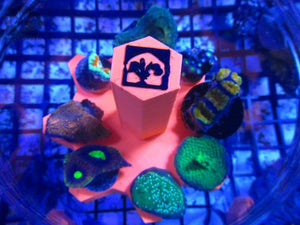 Fully Loaded Frag Pack Deal Free Shipping - JQ's ReefShack LLC