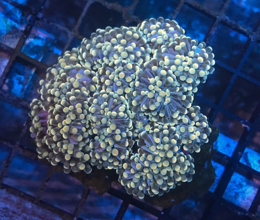 Gold Cristata Frags - JQ's ReefShack LLC