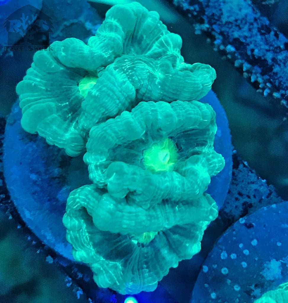 Green Candy Cane Coral