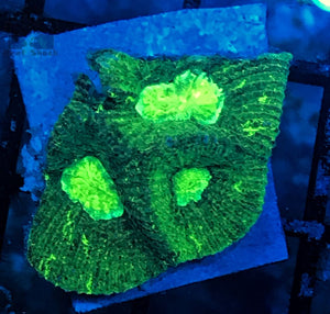 Green Gonastrea Coral Frags
