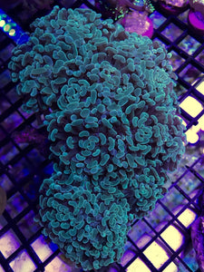 Green Hammer Coral Price Per Head