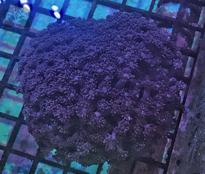 Indonesian Blue / Purple Goniopora Coral LG - JQ's ReefShack LLC