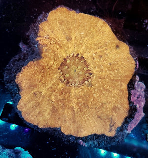Orange Scolymia V. Wysiwyg